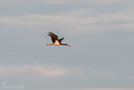 Svart stork-7855