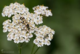 Fläckig blombock - Oedemera virescens-8738