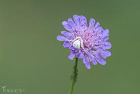 Blomkrabbspindel-8801