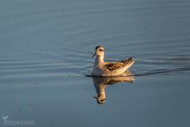 Smalnäbbad simsnäppa -2511