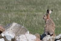 Hare-7902
