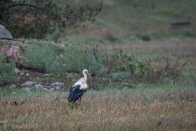 Vit stork-4582