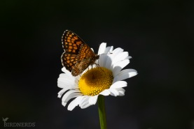 Skogsnätfjäril-2596