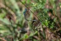 Pudrad smaragdflickslända-6026