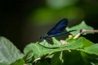 Blå jungfruslända-2412