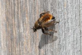 Rovfluga, Laphria flava-3253