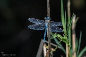 Klarblå mosaiktrollslända-0171