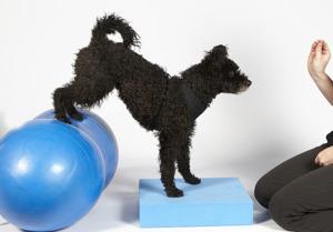 balansbollträning för hund