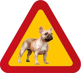 Hund Fransk Bulldog porträtt ljus