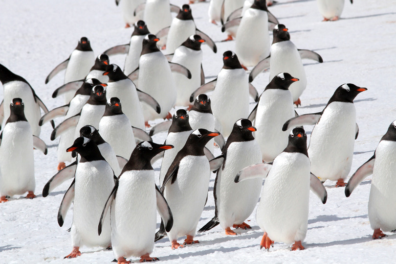 En flock med åsnepingviner intar sina häckningsplatser på ön Cuverville i Antarktis