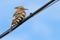 Extremadura 2013 Härfågel I