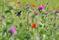 Extremadura 2013 Svarth buskskvätta II