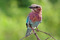 Lila blåkråka