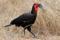 SYDAFRIKA 2014 Southern Ground-Hornbill I