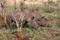 SYDAFRIKA 2014 Brednoshörningar Krugerparken I 150 dpi