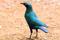 SYDAFRIKA Cape Glossy Starling I 150 dpi