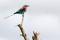 SYDAFRIKA 2014 Lilac-breasted Roller I 150 dpi