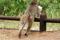 SYDAFRIKA 2014 Babianen som snodde bullpåsen 150 dpi