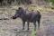 SYDAFRIKA 2014 Vårtsvin med oxhackare I 150 dpi