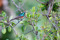 SYDAFRIKA 2014 Greater Double-collared Sunbird I 150 dpi