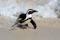SYDAFRIKA 2014 Afrikansk pingvin I 150 dpi