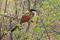 SYDAFRIKA 2014 2014 Burshell's Coucal 150 dpi