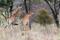 SYDAFRIKA 2014 Giraffer i Kruger NP 150 dpi
