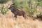 SYDAFRIKA 2014 Stor kudu tjur II 150 dpi