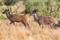 SYDAFRIKA Stor kudu par II 150 dpi