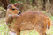 SYDAFRIKA 2014 Bush Buck Hind II 150 dpi