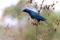 SYDAFRIKA 2014 Cape Glossy Starling II 150 dpi