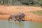 STDAFRIKA 2014 Zebror vid vattenhål I 150 dpi