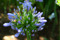 SYDAFRIKA 2014 Akfrikas lilja 150 dpi