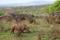 SYDAFRIKA 2014 Brednoshörning på savannen I 150 dpi