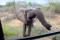 SYDAFRIKA 2014 Nyfiken elefant 150 dpi