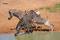 SYDAFRIKA 2014 Zebror vid vattenhål II