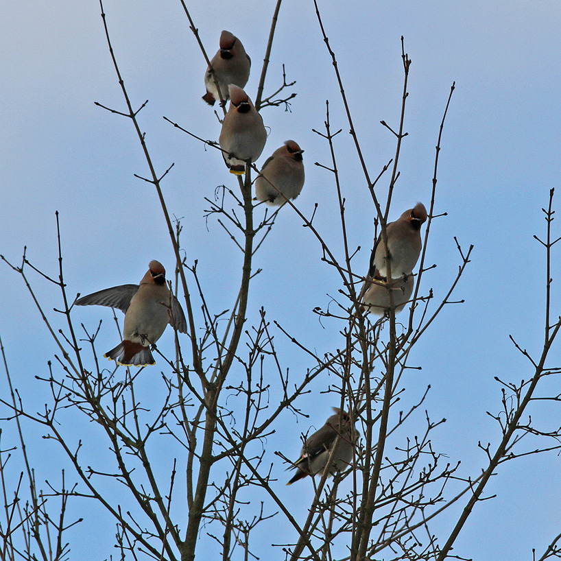 En liten flock sidensvansar på besök i trädgården den 12 januari 2015