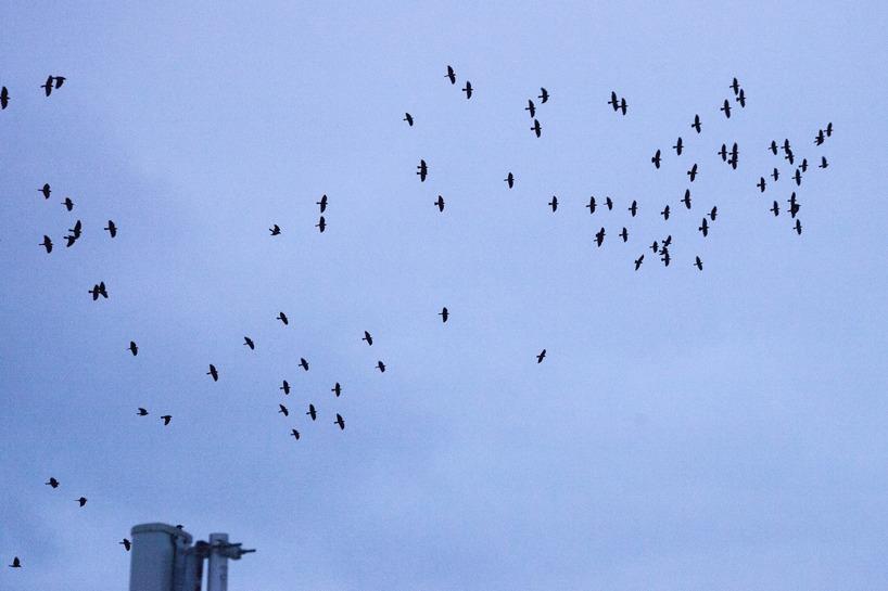 Flockarna med kajor var till individantalet små och splittrade i ett flertal grupper.