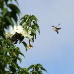 MEXICO 2013 Kolibri på vit blomma