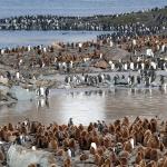 Antarktis 2012 Kungspingvinkoloni XI 2012