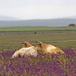 Extremadura 2013 Kor på slätt