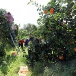 Kreta apelsinskörd i april