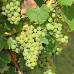 Alsace, vindruvor