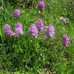Orchis italica, Kreta