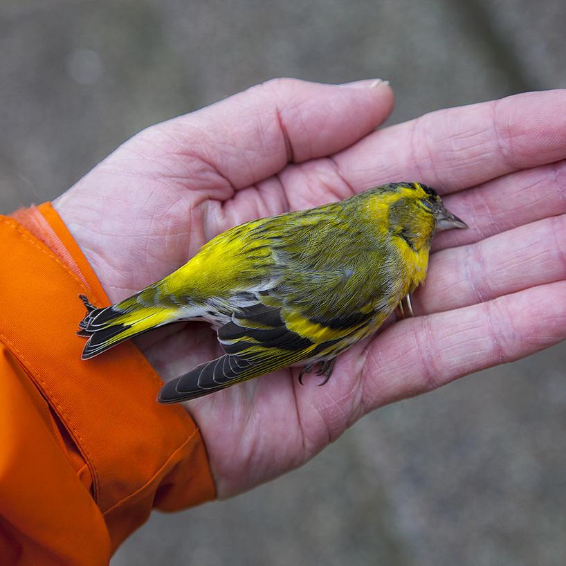 En vacker hane av grönsiska hittas död vid fågelmatningen den 18 februari - kanske har den flugit in i vårt köksfönster?