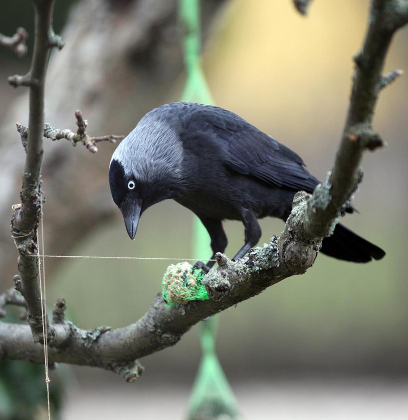 """Kajor är """"kluriga fåglar"""" som vet hur man lindar upp ett snöre för att komma åt maten!"""
