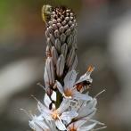 Extremadura 2013 Afodill med insekter