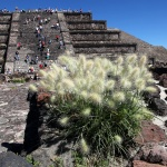 MEXICO 2013 Växt vid Måntemplet kopia