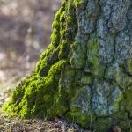 Mossa på träd 150308