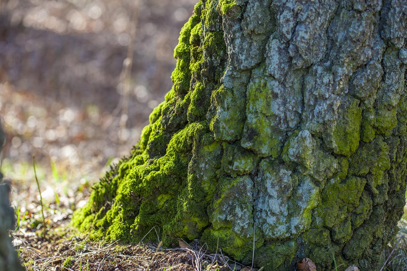 mossa på träd